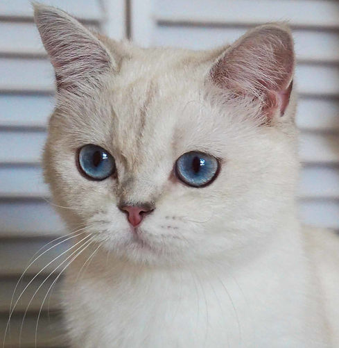 Blue Silver Shaded Color Point British Shorthair Female Cat with Blue Eyes