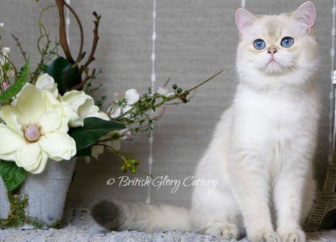 Blue Golden Shaded British Cat