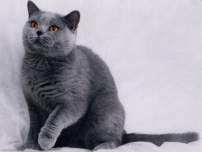Blue British Cat