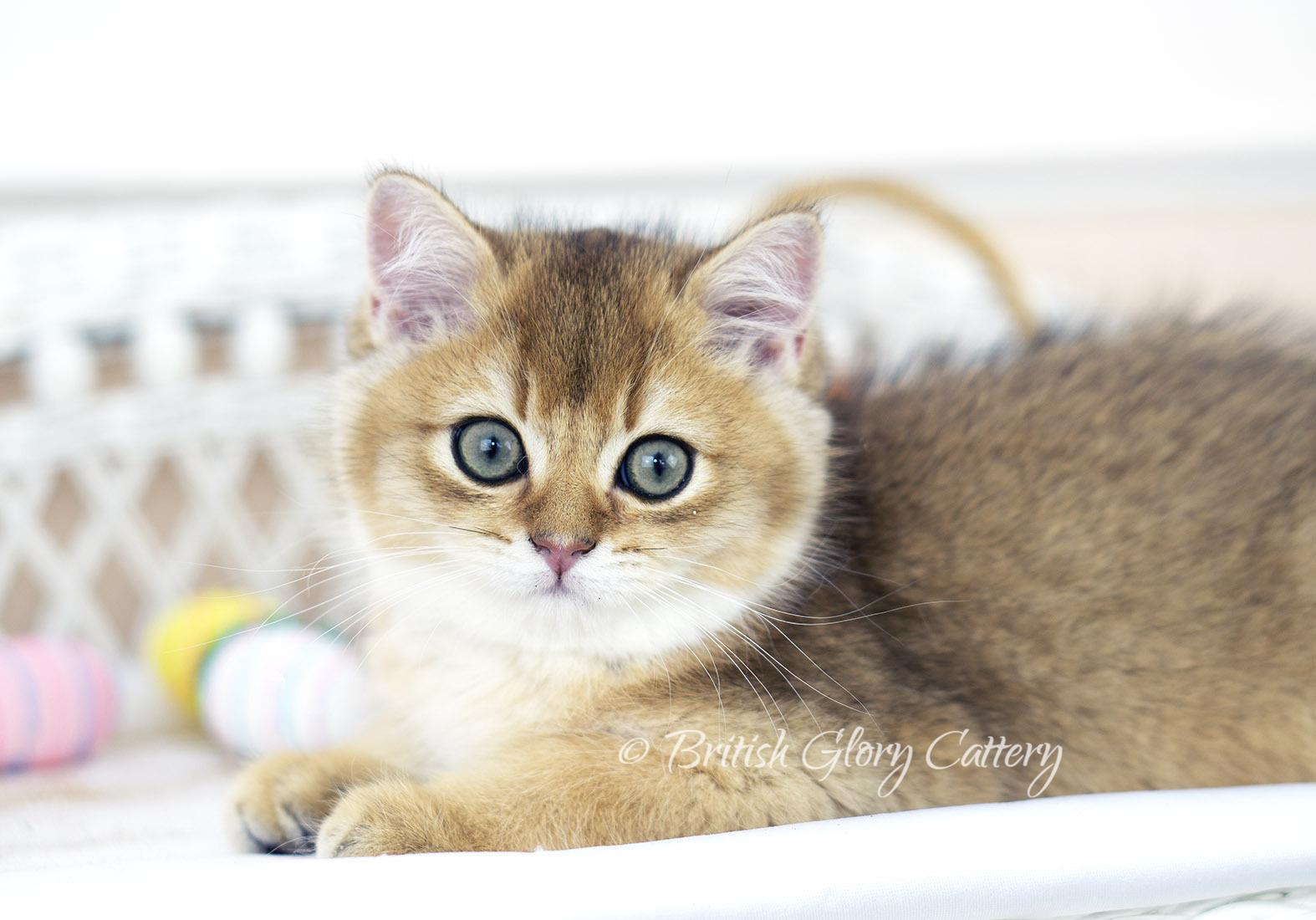 Black Golden Shaded British Shorthair Male Kitten with Green Eyes