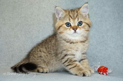 British shorthair golden kitten