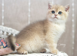 Blue Golden Chinchilla British Kitten