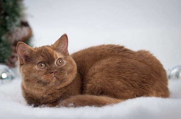 Cinnamon Tortie British cat