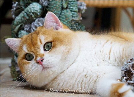 British Shorthair golden shaded chinchilla kitten