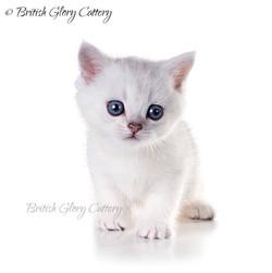 British shorthair chinchilla kitten