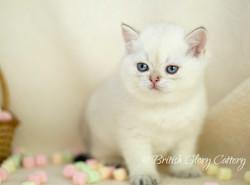Golden Point British Kitten