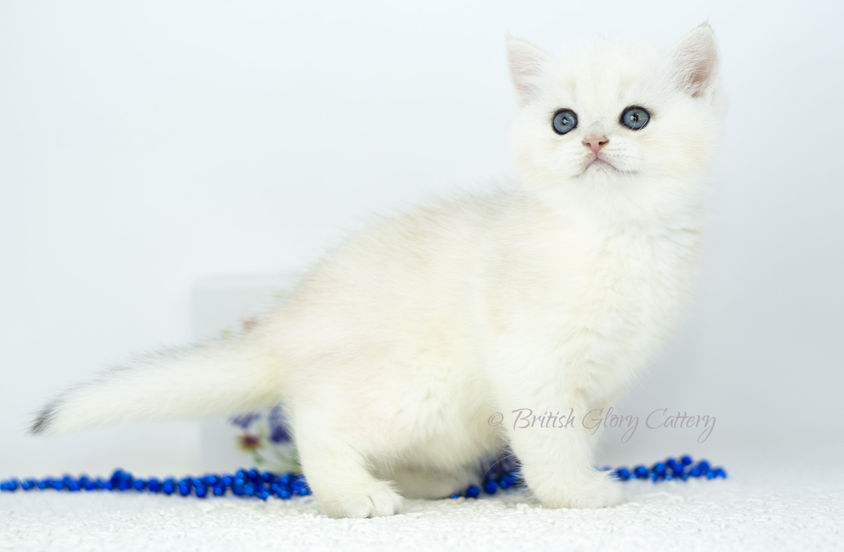 Black Silver Chinchilla British Kitten