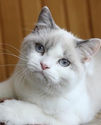 Blue Point Bi-Color British Cat