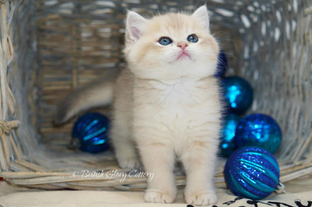 British Shorthair golden shaded chinchilla kitten
