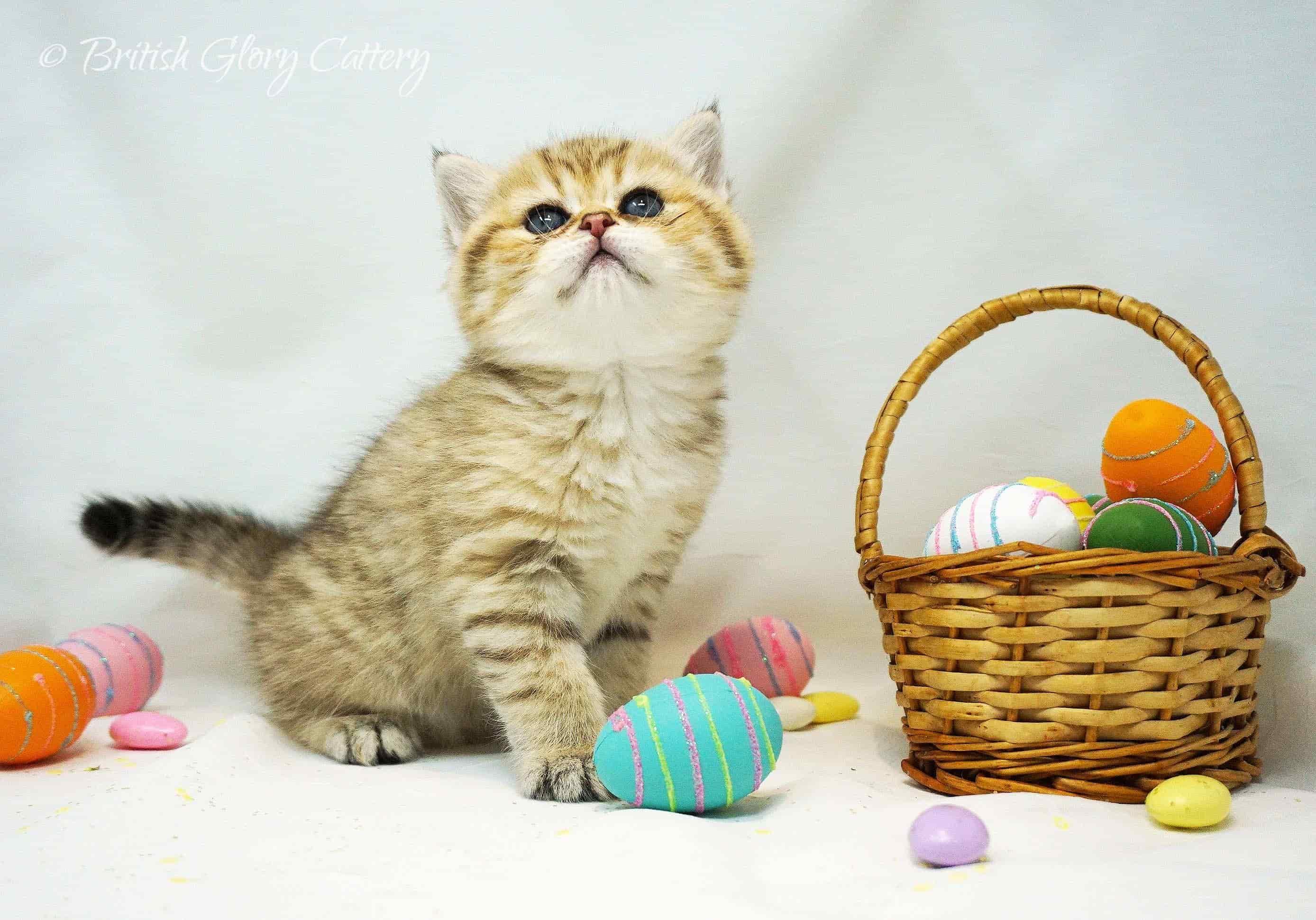 British shorthair golden kittenin