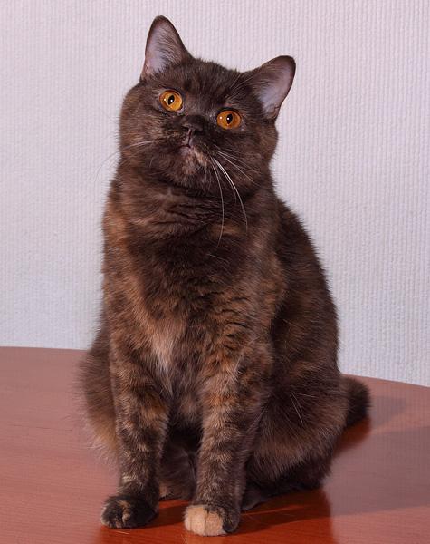 Chocolate Tortie British Cat