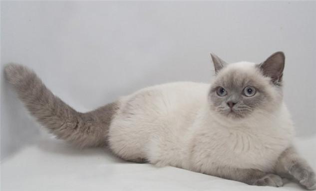 Blue Point British Cat