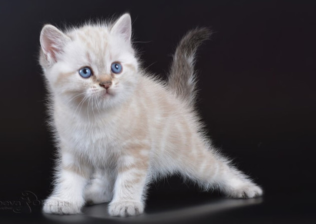 Tabby Color Point British Cat
