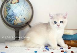 Blue golden chinchilla kitten