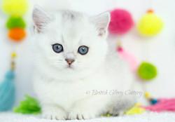 Black Silver Shaded British Kitten