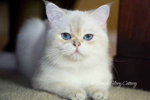 Blue Golden Shaded British Cat