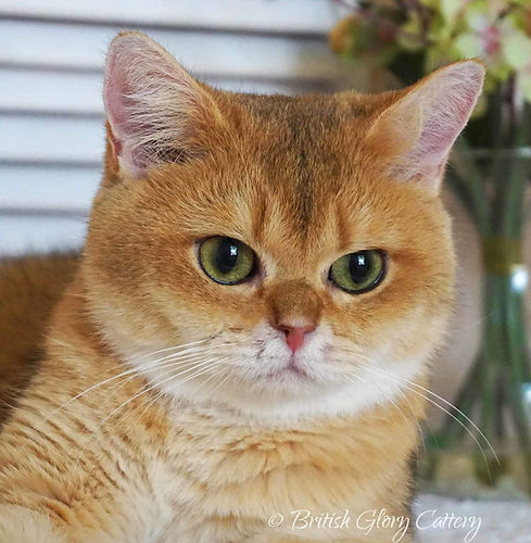 Black Golden Shaded British Shorthair Female Cat with Green eyes