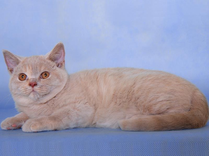 Fawn Tortie British Cat