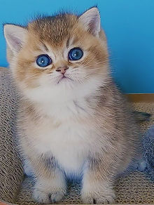 Black Golden Shaded British Shorthair Kitte