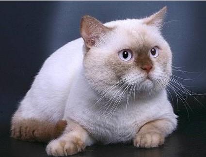 Cinnamon Point British cat