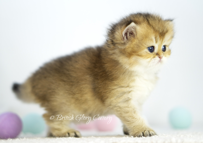 Black Golden Shaded British Kittenlue Golden Shaded British Kitten