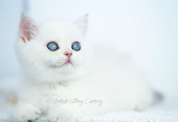 Blue Golden Shaded Point Kitten
