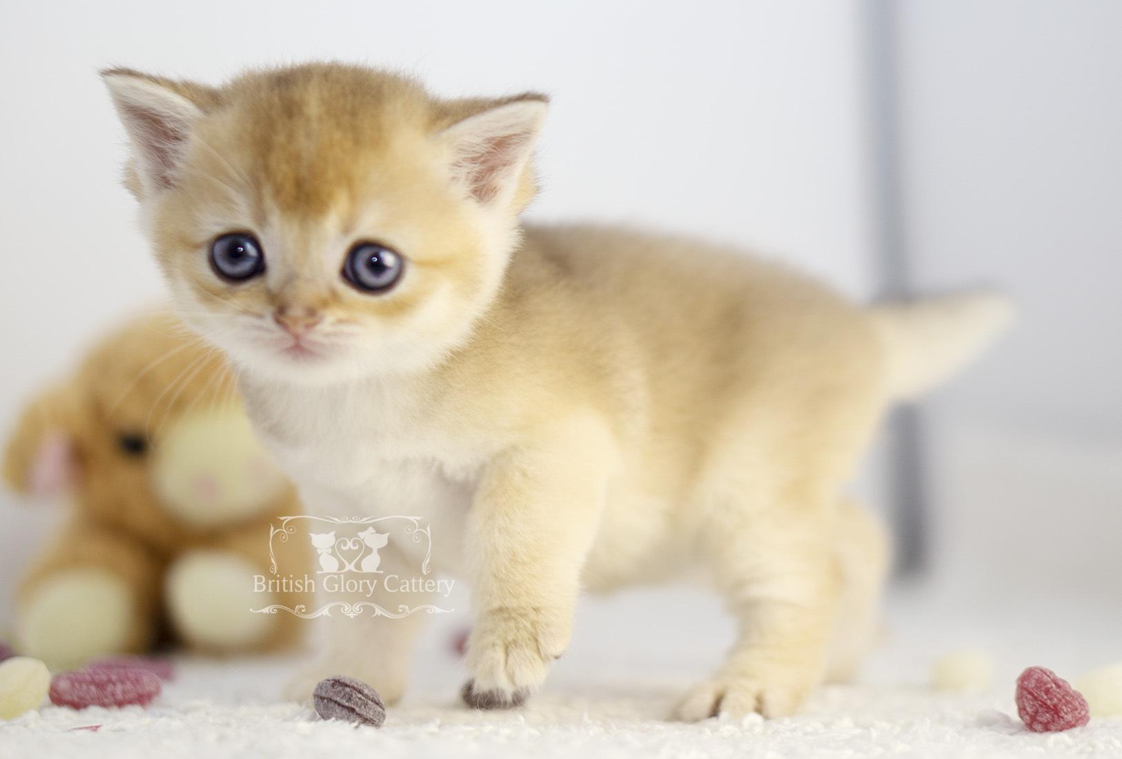 Black Golden Shaded British Kitten4