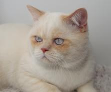 Red Point Bi-Color British Cat