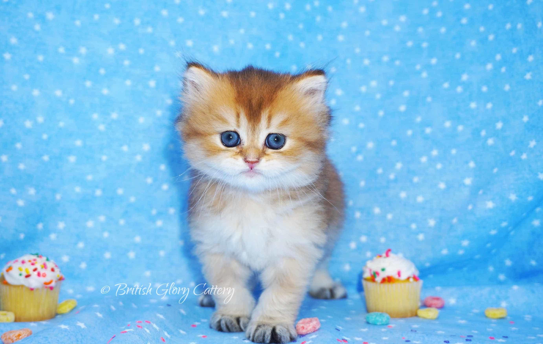 British longhair golden kitten