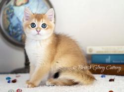 Black golden chinchilla kitten3