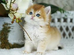 Black Golden Chinchilla Kitten