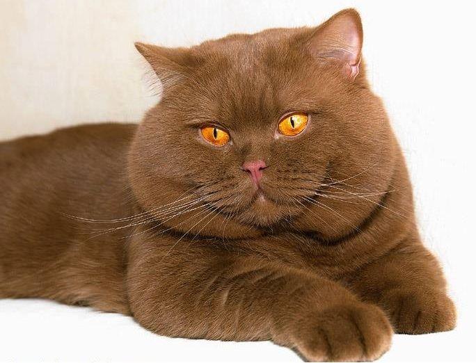 Cinnamon British cat