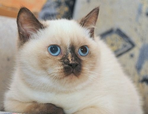 Tortie Color Point British Cat