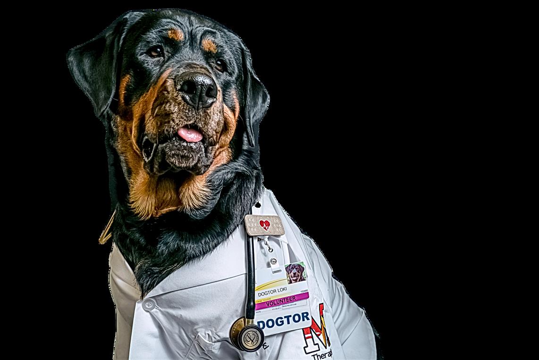 Dogtor Loki Therapy dog