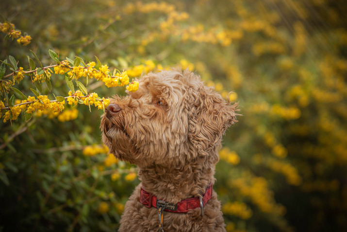 Lily Labradoodle