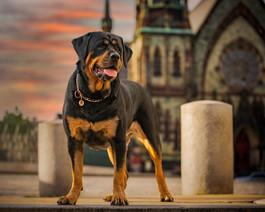 Loki Rottweiler