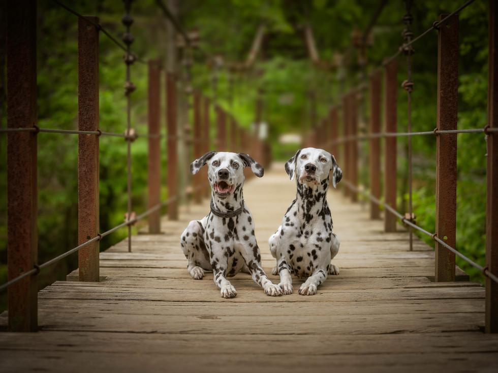 Dalmatian Mom and daughter