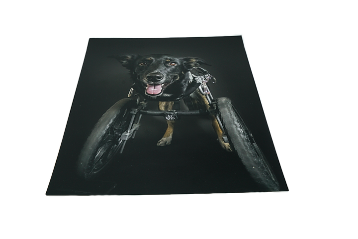 Petshots Dog portrait photography print @theaustinroo dog in wheelchair