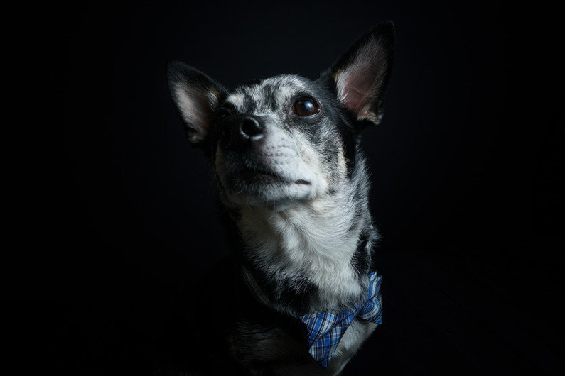 @super_cujo Chihuahua mix portrait