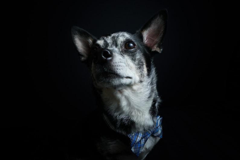 @super_cujo Chihuahua mix portrait