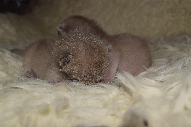 Bella's Blue Kittens