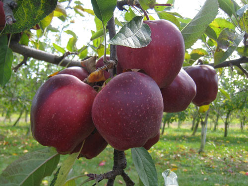 Stony-Hill-Apples-Closeup.jpg