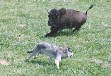 Wolf-bison2.jpg
