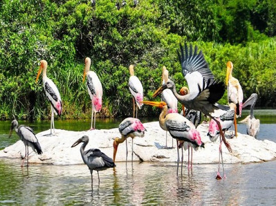 Painted Storks in the Kumarakom Bird Sanctuary