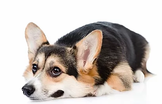 Brainy Dog calm dog Corgie.webp.png