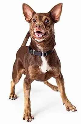 Brainy Dog happy excited chihuahua.webp.png