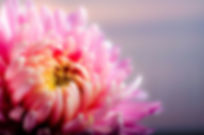 chrysanthemum-202483_1920.jpg