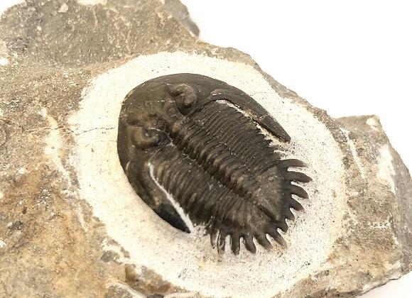 Mrakibina Cattoi Trilobite