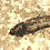 Thumbnail: Knightia Fish
