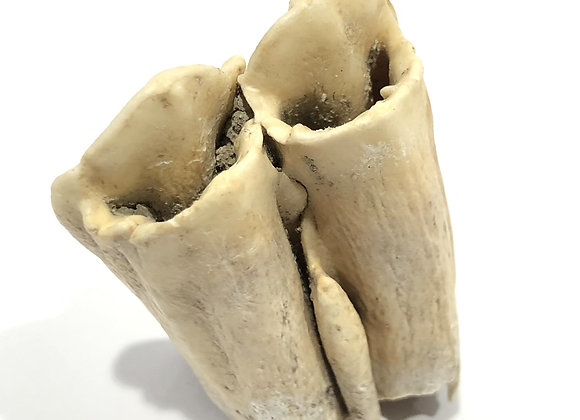 Ice Age Goat Tooth